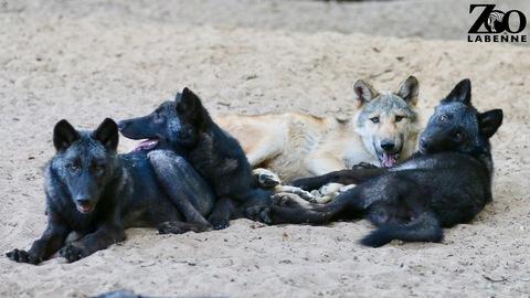 Vidéo : partie de football pour nos jeunes loups !