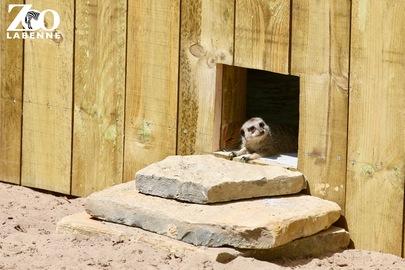 Les suricates !