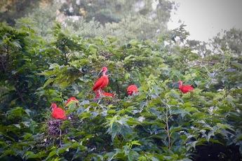 2018-4 Ibis rouges