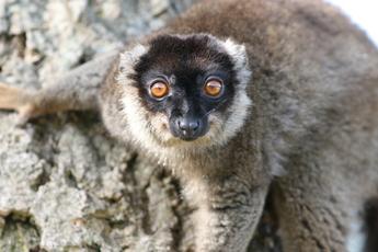 Lémur brun de Mayotte
