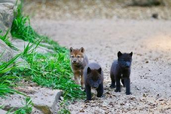 2018-9 loups