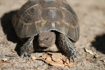 Tortue mauresque du Maghreb