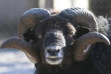 2018-4 agneaux