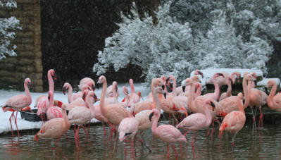 Nos animaux durant l'hiver : les flamants