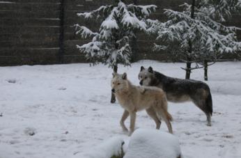 Nos animaux durant l'hiver : les loups