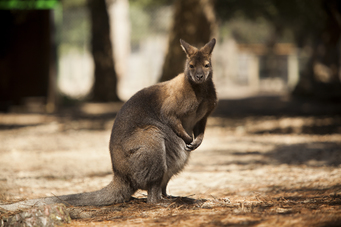 _Wallaby de Bennett