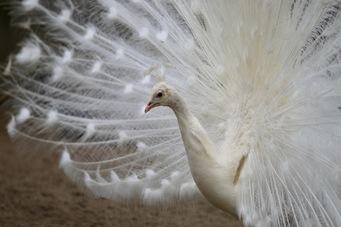 paon-blanc-zoo-labenne - 1
