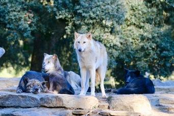 Une partie de notre meute de loups