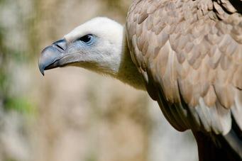 vautour-fauve-zoo-labenne