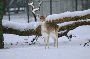 daim-neige-zoo-labenne - 1